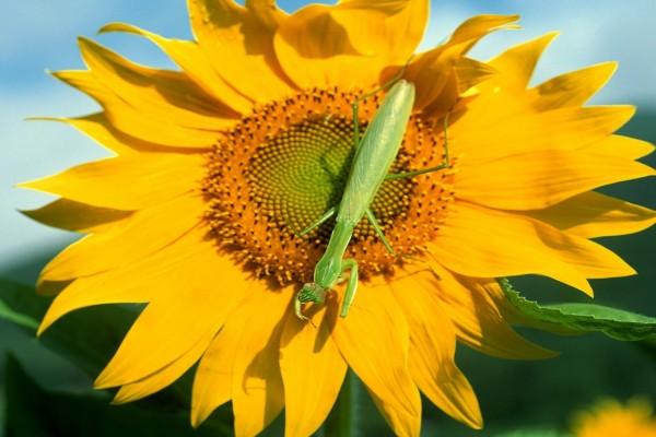 Mantis religiosa sobre un girasol