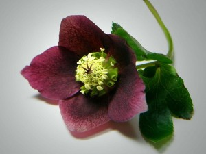 Postal: Rosa de Navidad de color púrpura