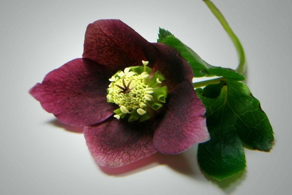 Rosa de Navidad de color púrpura