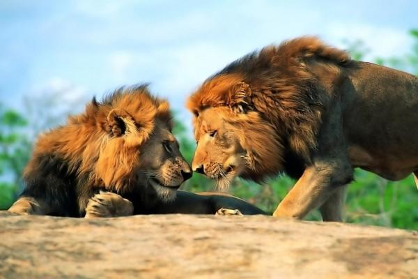 Dos leones cara a cara