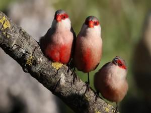 Postal: Tres pajaritos en una rama