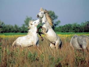 Caballos de raza Camargue