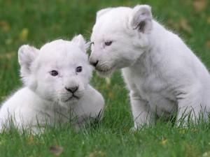Postal: Cachorros de león blanco
