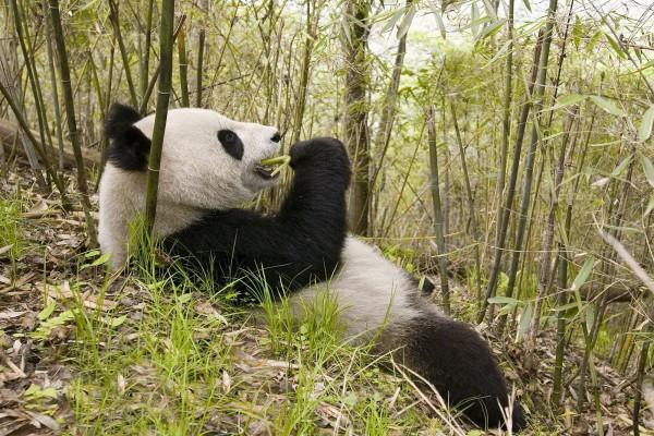 Un gran oso panda comiendo bambú
