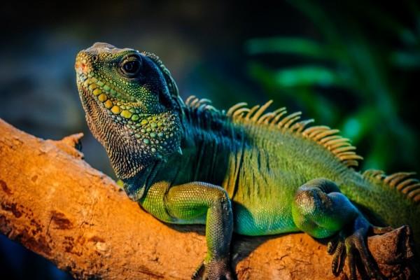 Iguana verde sobre una rama