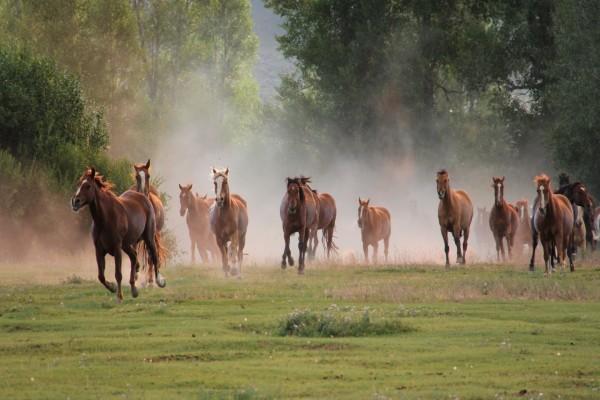 Caballos salvajes trotando por el campo