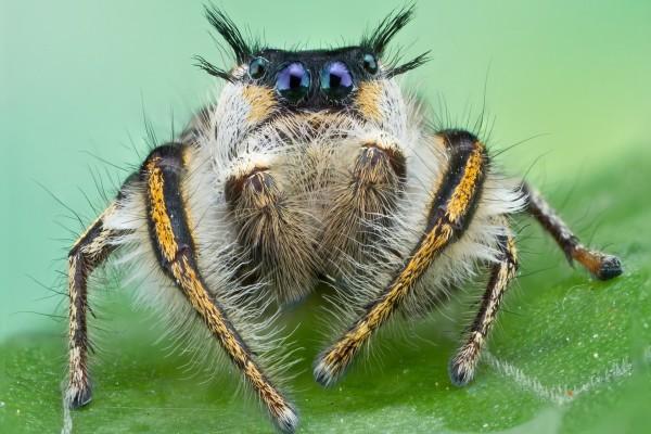 Phidippus insignarius, perteneciente a la familia Salticidae (arañas saltadoras)