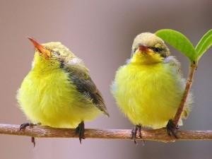 Postal: Pajaritos amarillos en la rama de un árbol