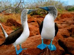 Postal: Alcatraces patiazules (o Piqueros de patas azules)