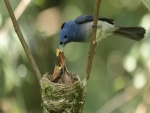 Alimentando a sus polluelos