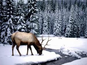 Ciervo buscando comida bajo la nieve