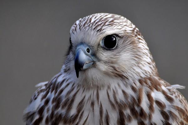 Mirada intensa de un halcón