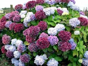Bonito y colorido arbusto de hortensias