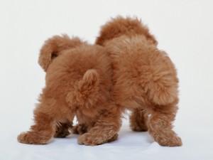 Dos cachorros marrones de espaldas