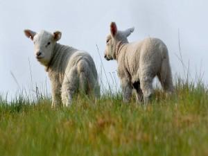 Un par de ovejas en la hierba