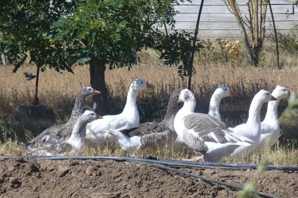 Un grupo de gansos