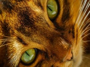 La cara de un gato de ojos verdes