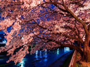 Postal: Un cerezo repleto de flores