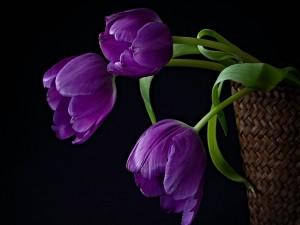 Postal: Tulipanes morados en una cesta