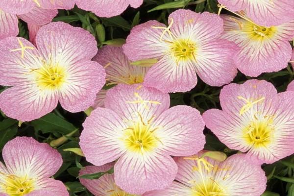 Onagras rosadas