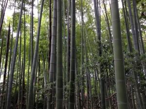 Postal: Campo de bambú