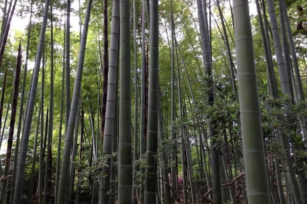 Campo de bambú