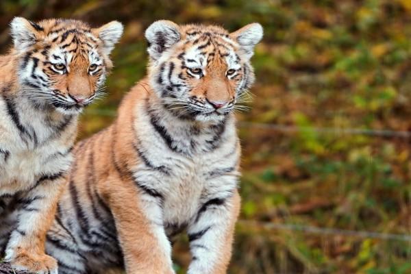 Pareja de tigres