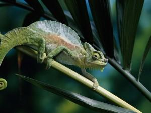 Camaleón sobre una rama