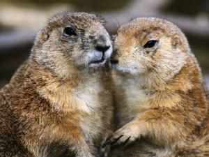 Postal: Pareja de marmotas
