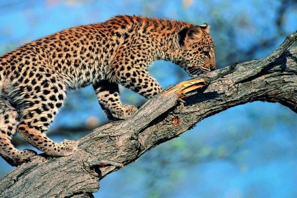 Un cachorro de leopardo en la rama de un árbol