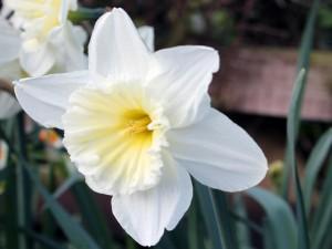 Narciso blanco