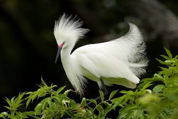 Garceta nívea (Egretta thula)