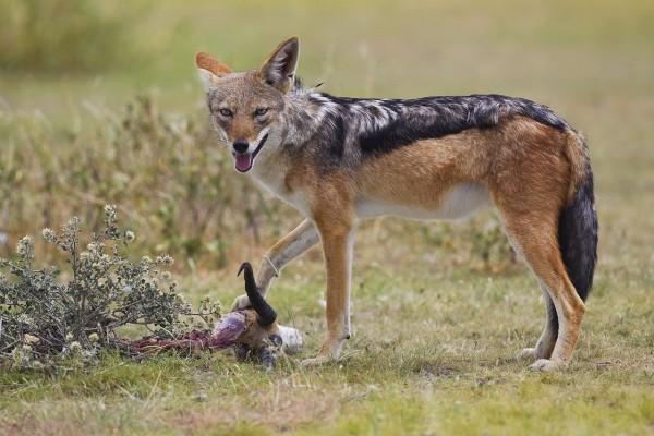 Chacal de lomo negro (Canis mesomelas)