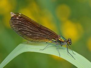 Postal: Caballito del diablo (Calopteryx virgo)