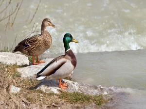 Dos patos salvajes