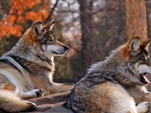 Dos lobos sentados