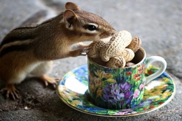 Ardilla comiendo cacahuetes de una taza