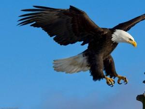 Postal: Águila a punto de tomar tierra