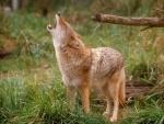 El aullido del lobo