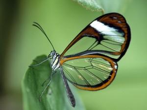 Postal: Mariposa de alas transparentes