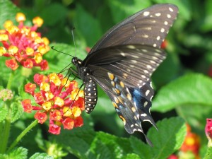 Mariposa de colores oscuros posada en una flor