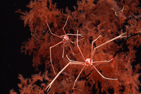 Arañas de mar gigantes