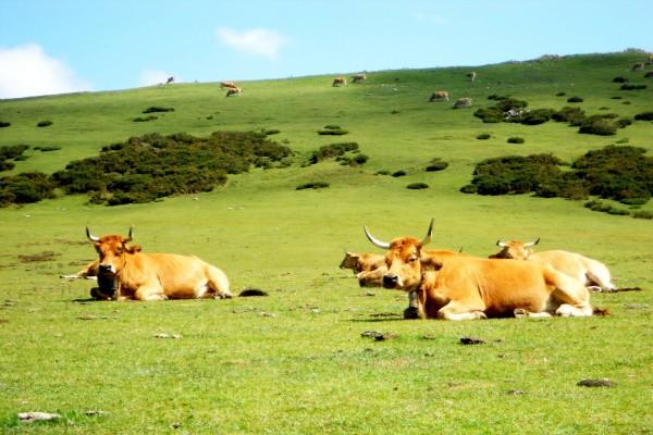 Vacas en un verde prado