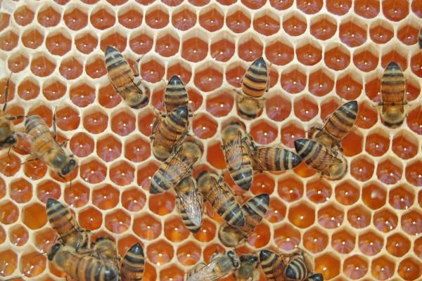 Abejas fabricando miel en el panal