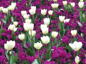 Campo de flores moradas y tulipanes blancos
