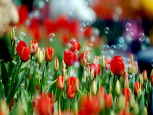 Pompas de jabón sobre tulipanes rojos
