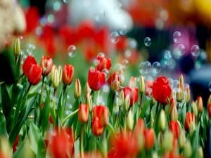 Postal: Pompas de jabón sobre tulipanes rojos