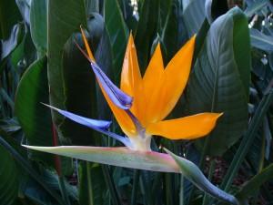 """Flor llamada """"Ave del paraíso"""""""