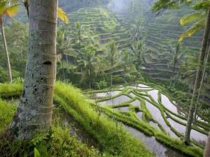 Postal: Cultivos de arroz