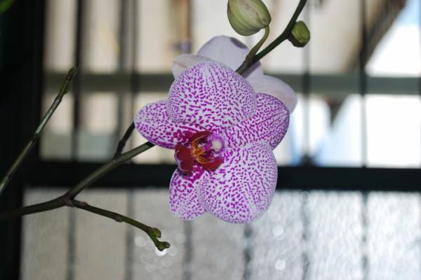 Una bonita orquídea blanca con motas moradas